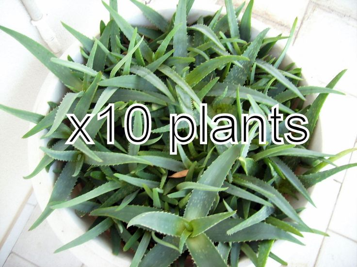 10 Aloe Vera Plants Seeds Baby Trees Organic Bare Root 7-8 Inches from our farm by pickergreece on Etsy