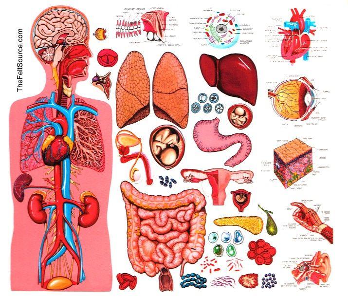 Kathy's Montessori Life: Free Anatomy Pix!