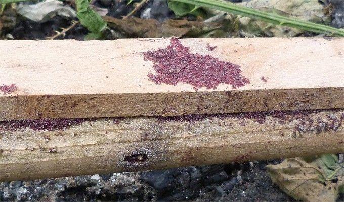 Les poux rouges ou poux des oiseaux se trouvent souvent dans les poulaillers. Ces poux peuvent vite devenir un fléau pour les poules qui vont se faire piqu
