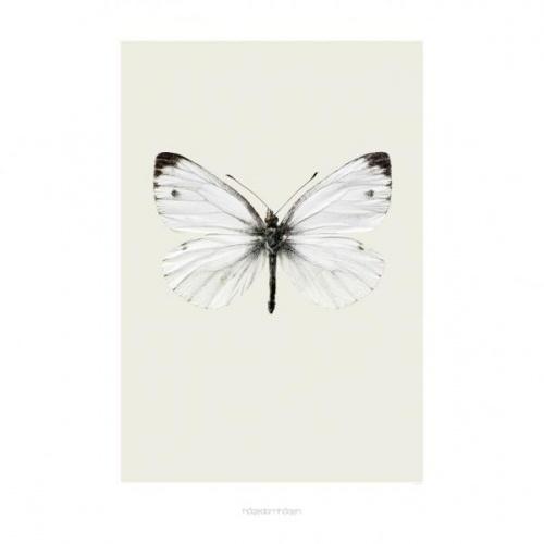 Hagedorn & Hagen ultraskarpe bilde av en vakre sommerfugler er et vakkert blikkfang på veggen. Trykt på kvalitetspapir.Medium:42 x 59 cm.OBS::: Må bestilles i egen ordre da rullen ikke kan sendes sammen med andre varer p.g.a formatet på pakken.Men dukan gjerne bestille flere bilderpå en bestilling.