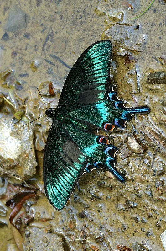 iridescent | mother-of-pearl | gleaming | shimmering | metallic rainbow | shine | Alpine Black Swallowtail (Papilio maackii) More