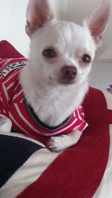 Jamie dog..follow him on facebook..jamie a little white chihuahua