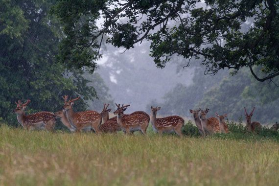 Fallow Deer in the rain Fine Art photography by ChrisSmithPhotos, £3.00