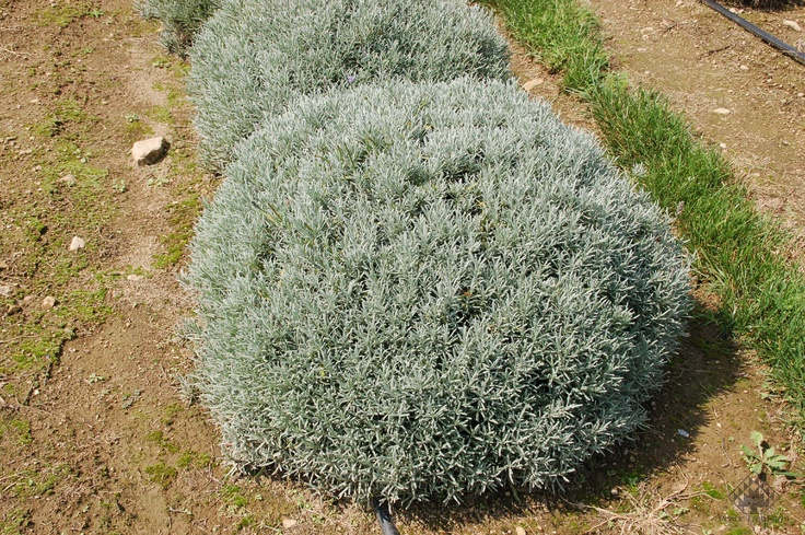Lavender Phenomenal's silvery, mounding foliage is excellent for field production.