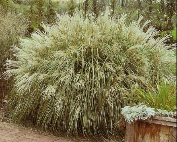 119 Best Images About Miscanthus On Pinterest Morning