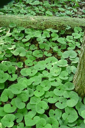 Wild Ginger (Asarum canadense) keeps its foliage throughout the season and does not go dormant, so it is a good species to plant among the spring ephemerals that do go dormant. Plant one foot apart to form a solid cover in two to three years.