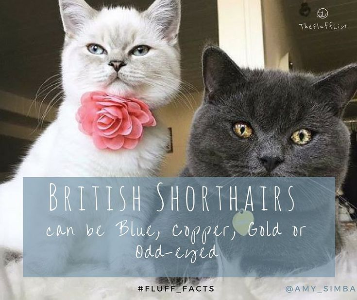 Cats Have Eyes That Come In A Array Of Colours Amy And Simba At Amy Simba Show Us Two Of The British Shorthair Eye Colours British Shorthair Cats Fun Facts