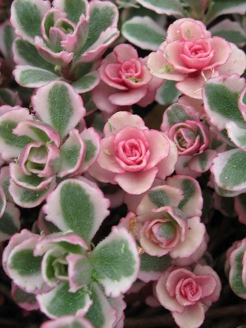 Sedum Spurium Tricolor...new growth looks like tiny roses. I have this in several spots in the front and back yard. It's so pretty.