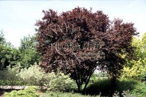 Blodblomme/Prunus cer. 'Nigra'