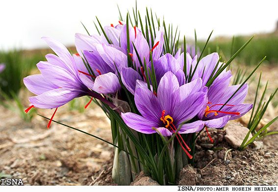 Crocus sativa, the source of Saffron once grown as a crop on the Abington Estate