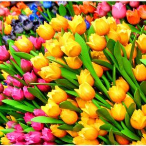 Tulips Colorful Flowers HD Wallpaper | tulips colorful flowers hd wallpaper 1080p, tulips colorful flowers hd wallpaper desktop, tulips colorful flowers hd wallpaper hd, tulips colorful flowers hd wallpaper iphone