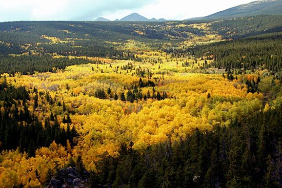 PANDO: 47,000 stems of clonal male population of Populus tremuloides (Quaking Aspen) over 43ha. Fishlake National Park, Utah.