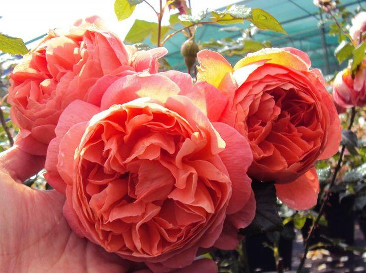 Englische Rose Summer Song ® Austango ® Züchter David Austin 2005