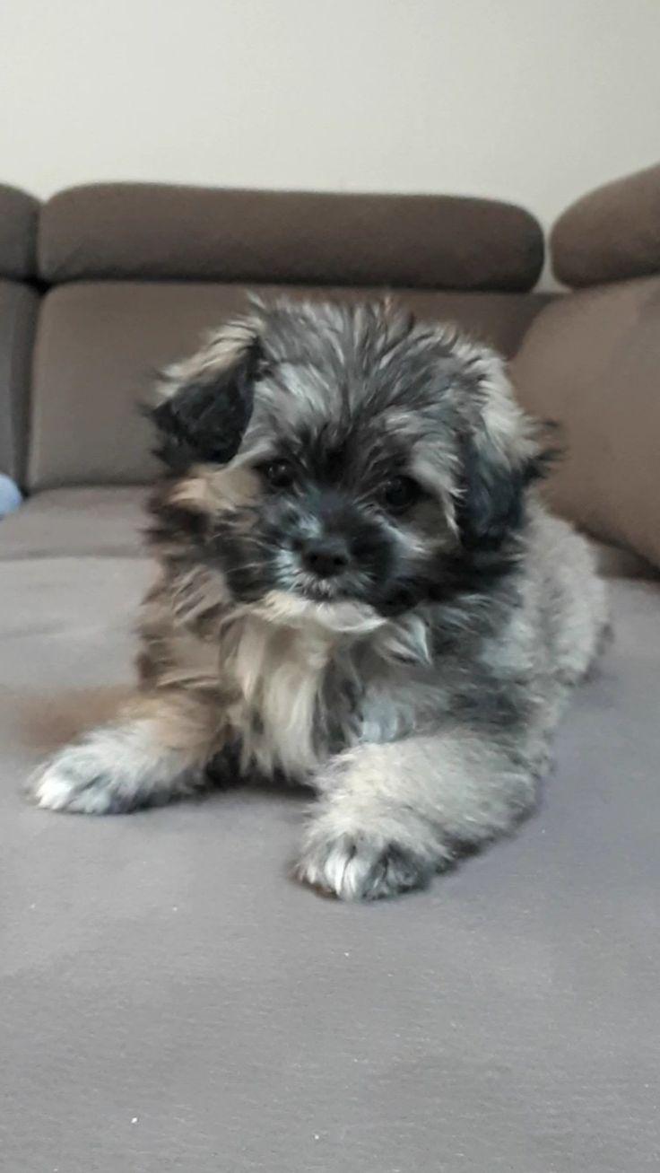 Shih tzu puppies colorado for sale