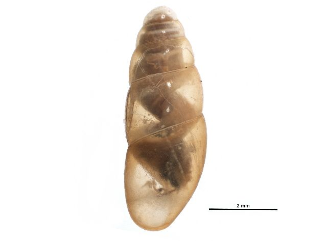Land snail (Cionella sp.) collected in Fundy National Park, New Brunswick, Canada, and photographed at the Centre for Biodiversity Genomics (sample ID: BIOUG12145-H09; specimen record: http://www.boldsystems.org/index.php/Public_RecordView?processid=SSFDC001-14; BIN: http://www.boldsystems.org/index.php/Public_BarcodeCluster?clusteruri=BOLD:AAO1952)