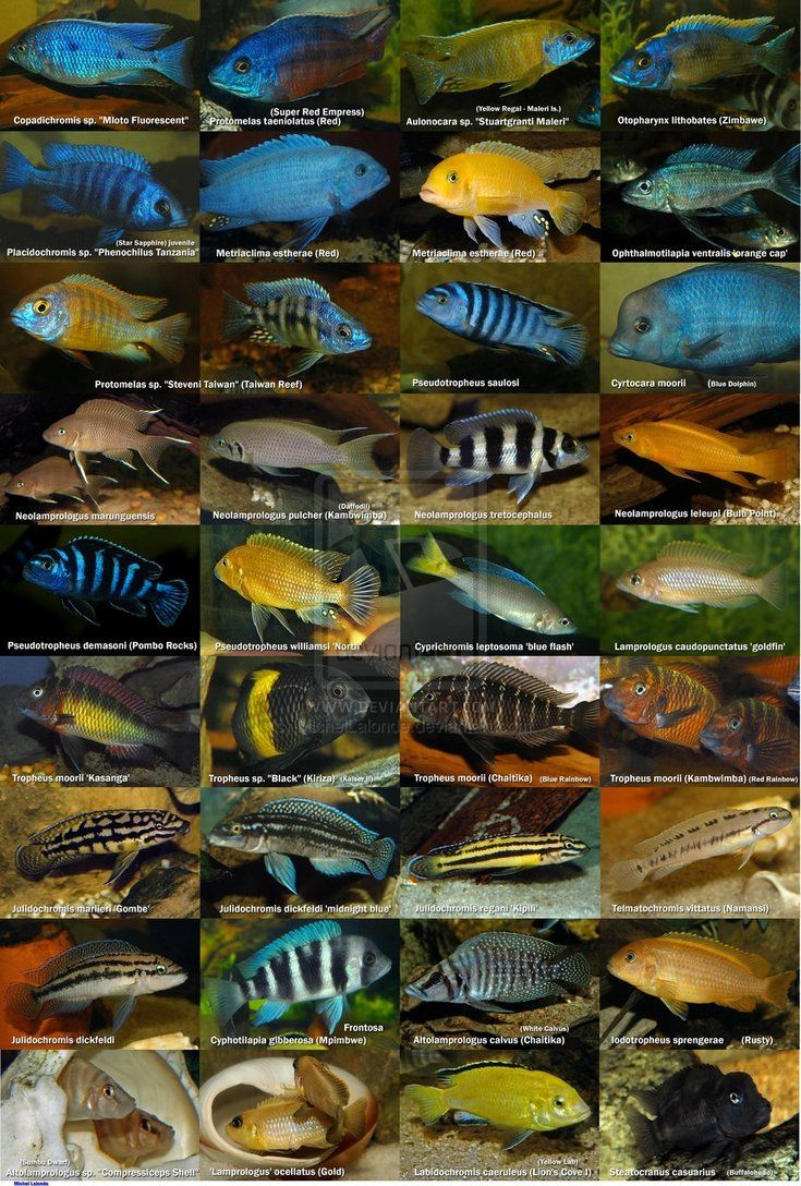African Cichlids Poster by MichelLalonde on deviantART