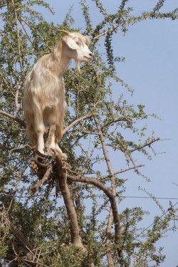 アルガンツリーと山羊 Goats climb the Argan trees of Morocco in search of food