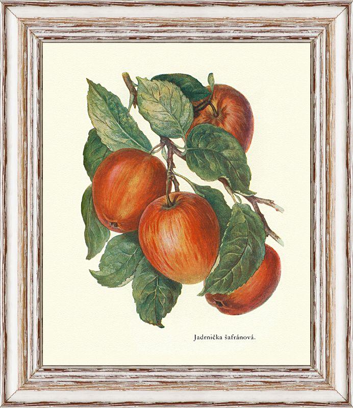 Jadrnička šafránová - odrůda jablek, jakou dnes neseženete. Kresba stará více jak 100 let.