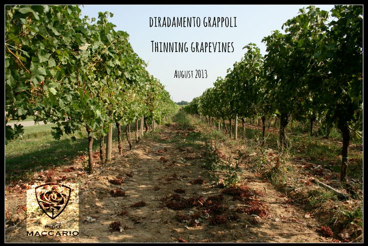 Thinning grapevines in order to improve wine quality