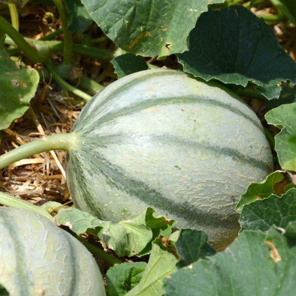 Cultiver des melons et des pastèques au potager bio