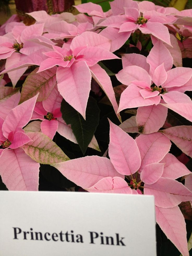 Named for Joel Poinsett, the U.S. minister to Mexico who brought the plants home in 1825, the poinsettia is always decked in holiday colors.