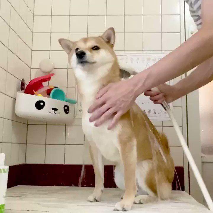 柴犬 りんご 郎