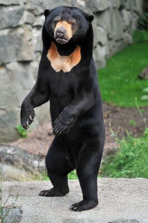 : Sun bear Rotana (by Edinburgh Zoo...