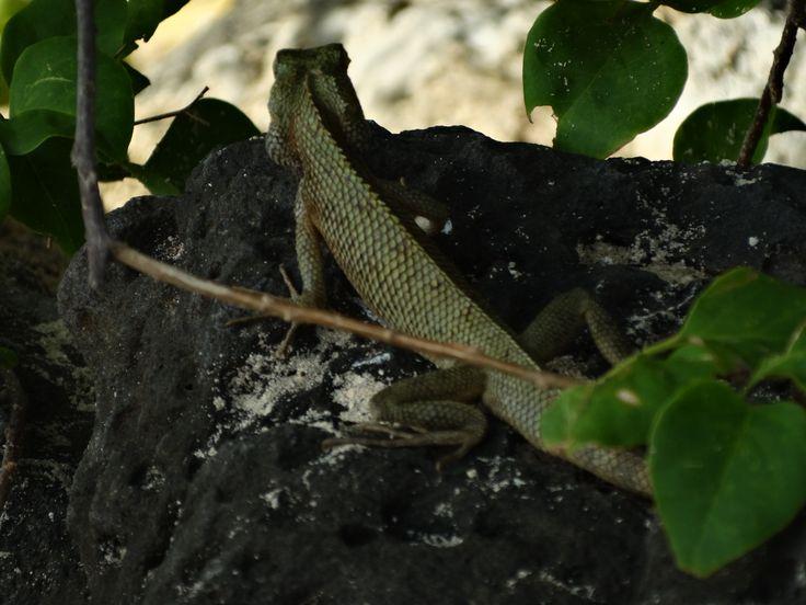 lizard, Mauritius, Africa