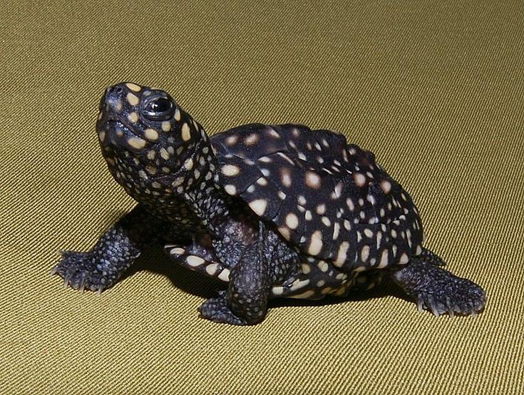 Black Spotted Pond Turtle juvenile