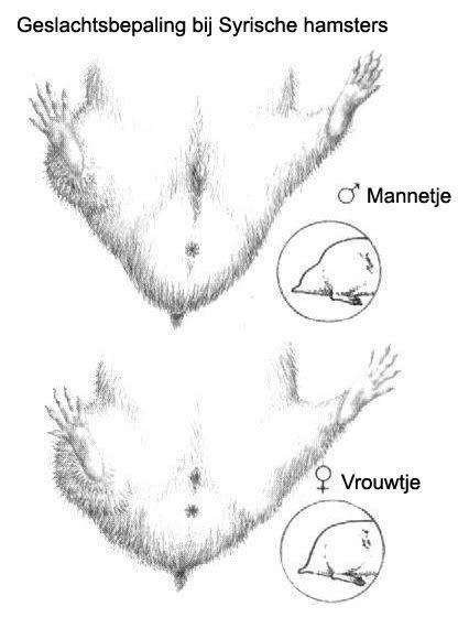 de geslachts kenmerken van een hamster