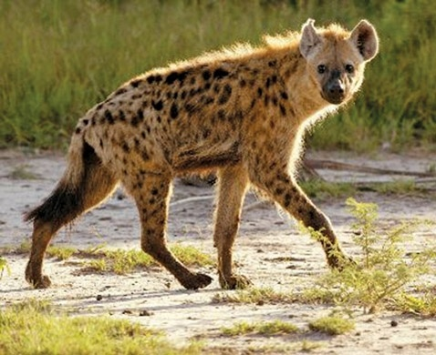 Females are about three times larger than males, have more muscle mass and are more aggressive due to an excess of testosterone in their bodies. Hyenas have a range of vocal sounds, including one that sounds like laughter when they are excited.