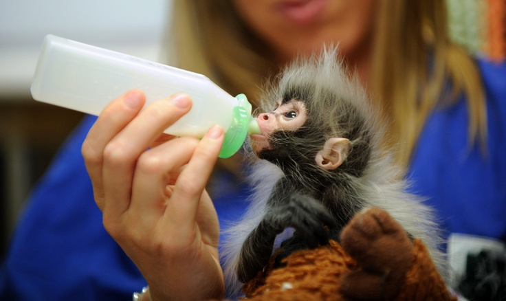 Baby spider monkey being helped out by our vets cute