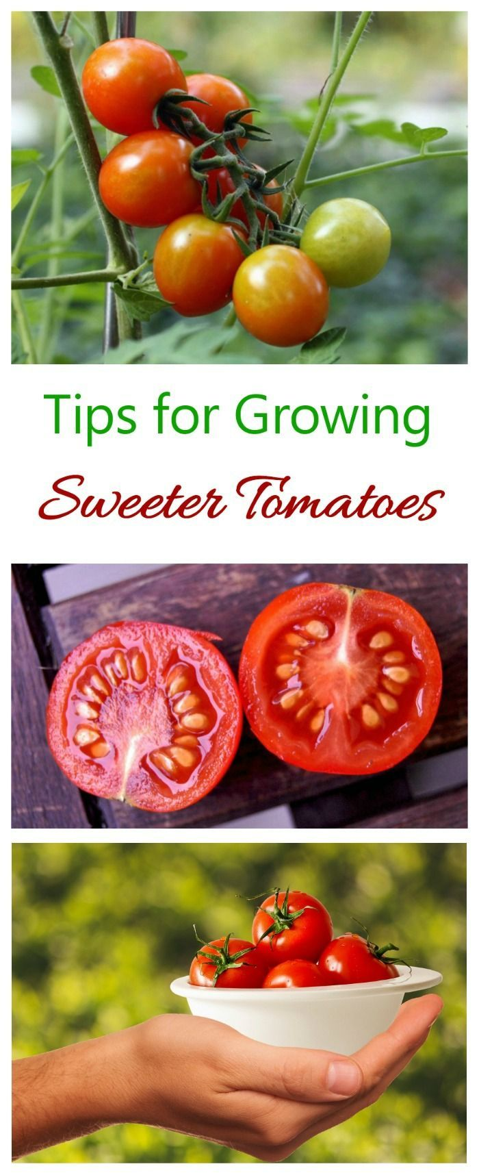 Growing sweet tomatoes depends a lot on the type of tomato and your growing conditions. See my tips and myths about how to get sweeter tomatoes