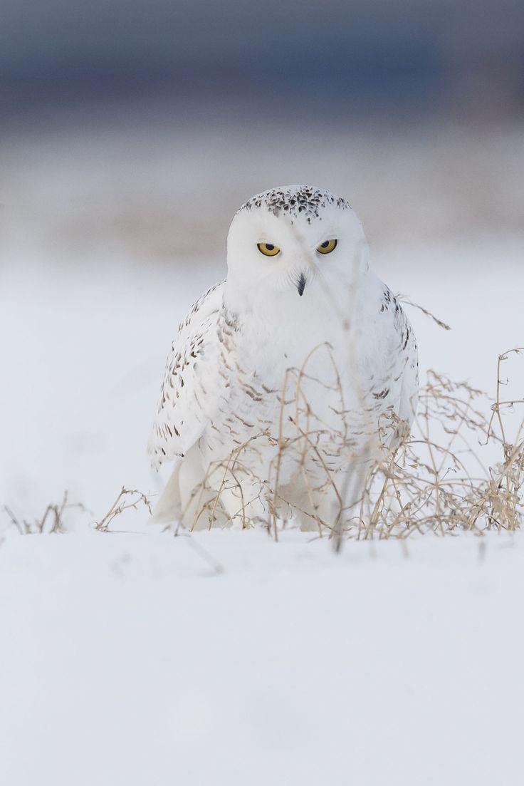 Harfang des neiges - Snowy Owl - Búho Nival - Gufo delle nevi - Schneeeule ( Bubo scandiacus ) beautiful-wildlife:  Evil EyesbyJacques-Andre Dupont