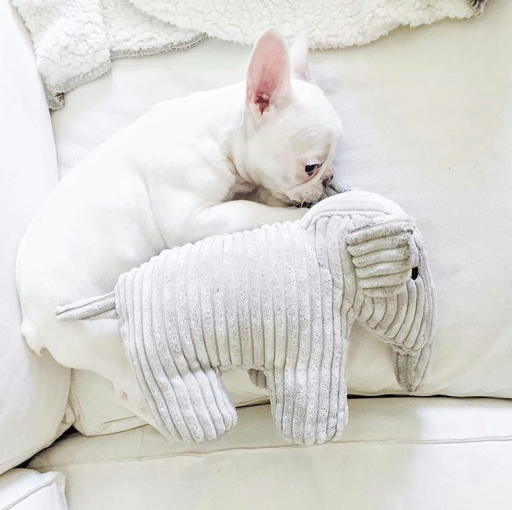 Mimi, the French Bulldog Puppy, Sleeping with her favorite Toy ™ @mimi_thefrenchie