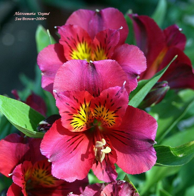 Photo Of Parrot Lily Alstroemeria Princess Lilies Oxana Location At A Nursery On April
