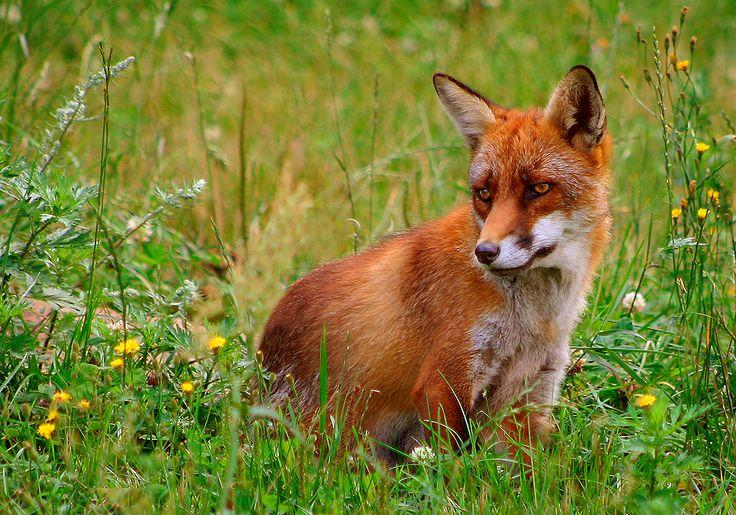 Vulpes | File:Rød ræv (Vulpes vulpes).jpg