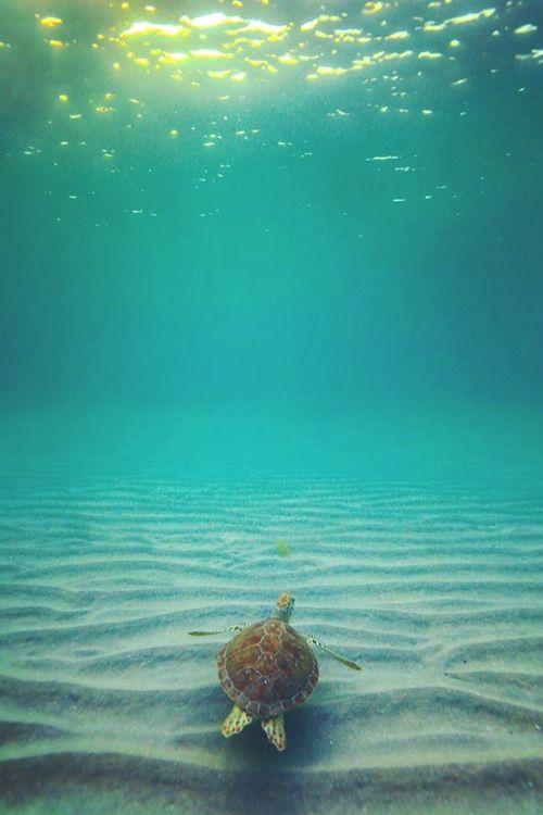green sea turtle seen in Florida, USA