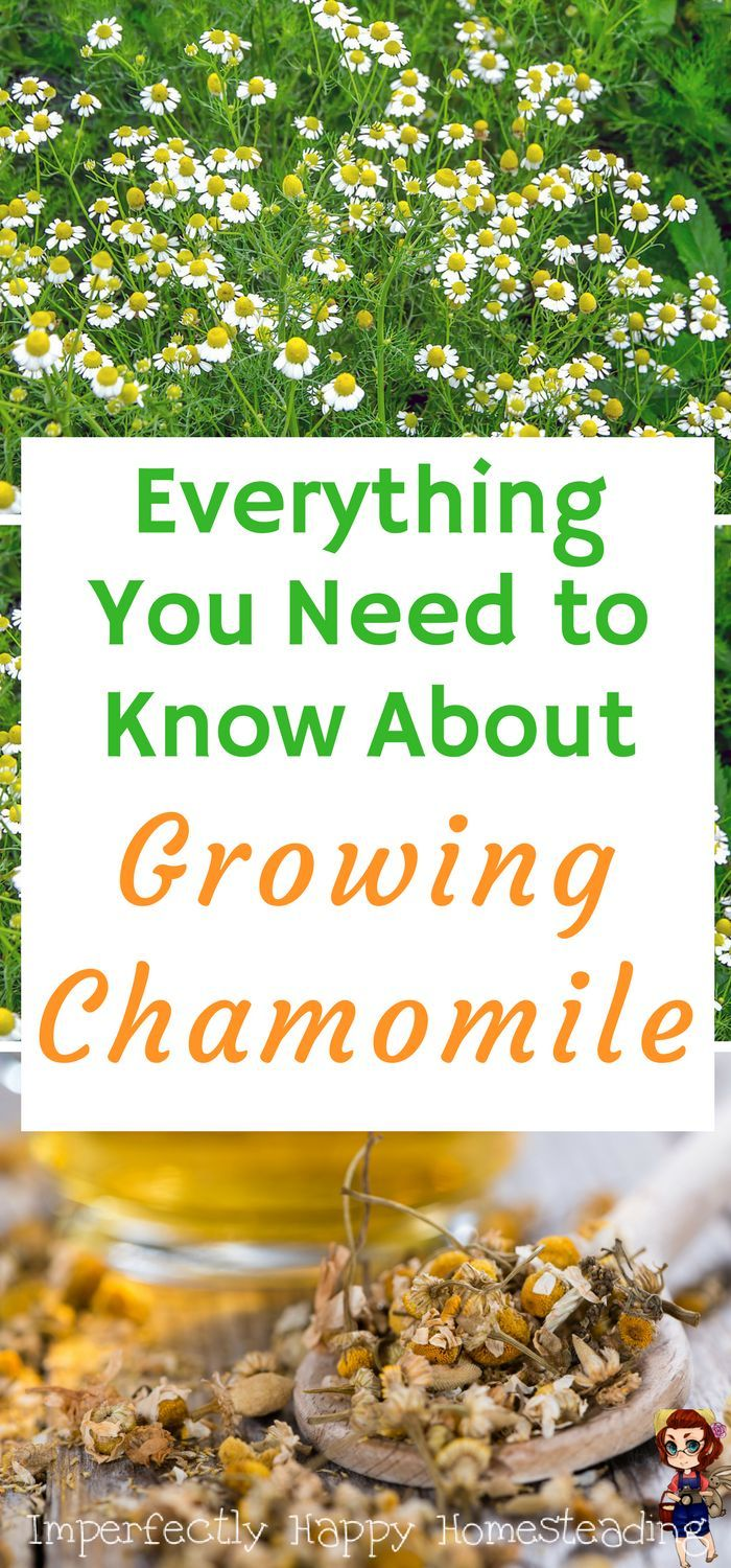 How to grow chamomile in your garden - everything you need to know to plant, grow and harvest.