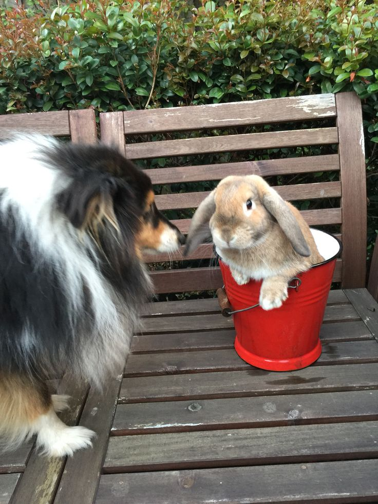 Ollie the rabbit and Flynn the Sheltie - good friends