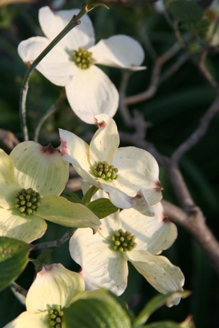 Cornus florida (Flowering Dogwood 'Cloud Nine')