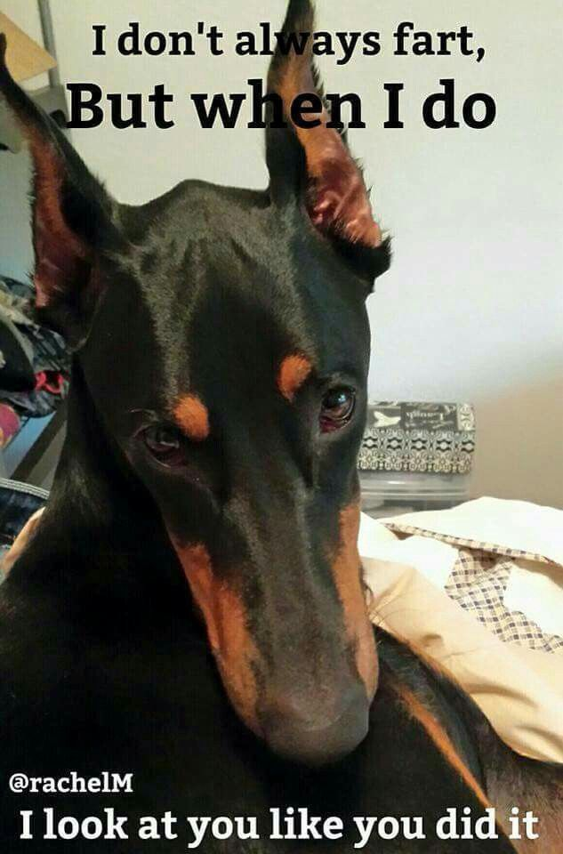 Doberman humor: More like...  when I fart, I'll clear a room and look at you like you did it.                                                                                                                                                                                 More