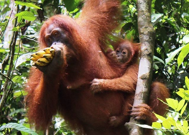 The baby of orang utan  Orang utan meaning is the man in the forest. You can visit this in sumatra island and kalimantan of indonesia.  #orangutan #travelpicture #nature #jungle #adventure #sumatrapicture #medan #bukitlawang #indonesia🇮🇩 #vakantie