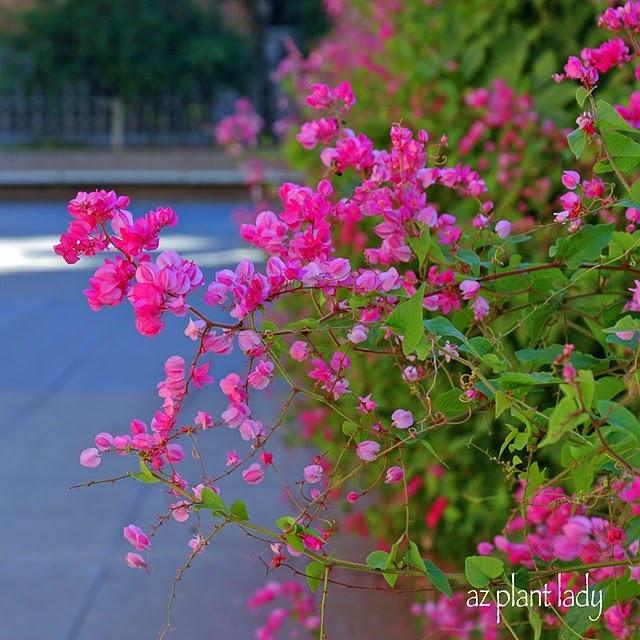 Queen's Wreath vines