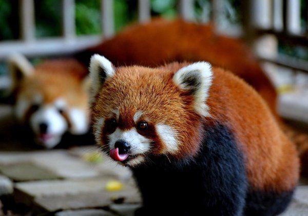 Cina, 3 panda rossi  ( NON SI DIREBBE)