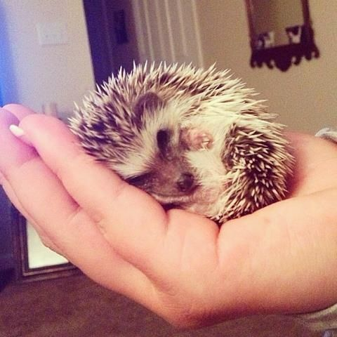 Cute! My daughter's new pet hedgehog, Oliver.