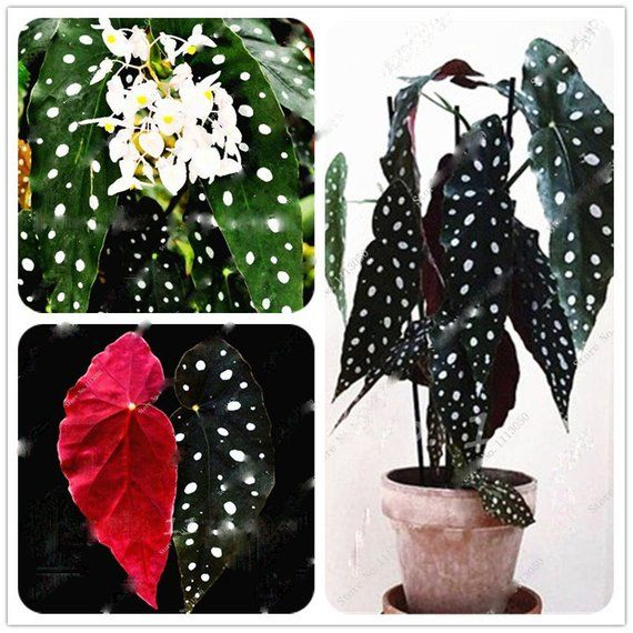 Only 5 Days Hot Sale Buy 2 Get Sale Off 20 Lets Go Lets Go Buy Now Welcome To Visit My Items All S Begonia Maculata Bonsai Seeds Unique Plants