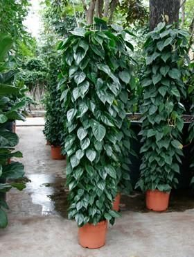 17 Best images about indoor vines climbing plants on ...