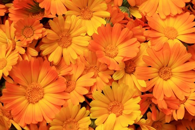 Körömvirág - Calendula