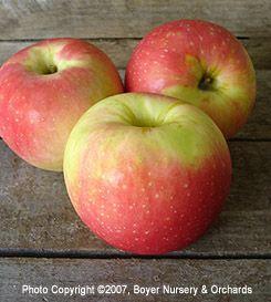Zestar apple treeZestar Apple Tree